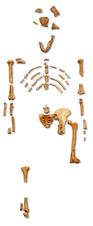 Reconstruction_of_the_fossil_skeleton_of_-Lucy-_the_Australopithecus_afarensis